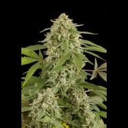 Autoflowering White Widow
