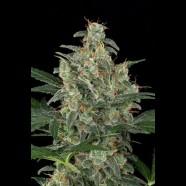 Cheese Autoflowering cannabis seeds