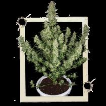 Cheap Cannabis Seeds Uk
