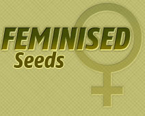 feminised cannabis seeds